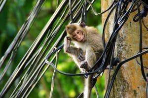 Wilden Affen bei Bae Lan